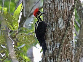 Crimson-crested Woodpecker RWD2.jpg