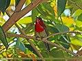 Crimson Sunbird (Aethopyga siparaja) (20390507090).jpg