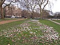 Crocuses in Hyde Park - geograph.org.uk - 1757603.jpg