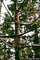 Cronartium ribicola Pinus lambertiana (04).jpg