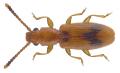 Cryptamorpha desjardinsii (Guérin-Méneville, 1844).png