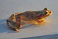 Cuban Tree Frog (Osteopilus septentrionalis) (8573972657).jpg