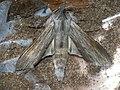 Cucullia umbratica - The Shark - Капюшонница серая (27185274438).jpg