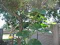 """Cucurbita maxima """"zapallo plomo"""" (Costanzi temp2) flor femenina F03 dia02 orientación.JPG"""