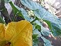 Cucurbita moschata (zapallo espontáneo) flor F01 antesis pétalos haz (adaxial) nerviación mucrón hormigas estaminodio estilos estigma.JPG