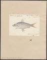 Curimatus gilberti - 1700-1880 - Print - Iconographia Zoologica - Special Collections University of Amsterdam - UBA01 IZ14700015.tif