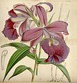 Curtis's botanical magazine (Tab. 4446) (8410590163).jpg