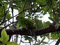 Cyanoramphus cookii -Palm Glen, Norfolk Island, Australia -juvenile-8.jpg