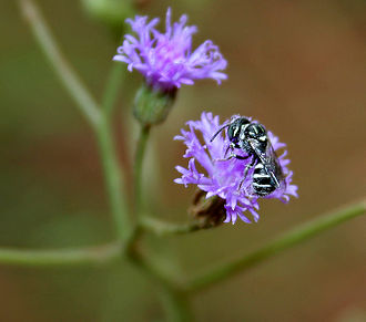 Vernonia - Bee (Ceratina sp.) on Vernonia cinerea at Ananthagiri Hills, in Ranga Reddy district of Andhra Pradesh, India