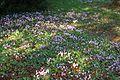 Cyclamen hederifolium sous-bois Fouqueure.jpg