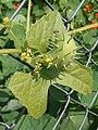 Cyclanthera brachystachya Fructus.jpg