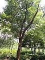 Cyclobalanopsis glaucoides - Kunming Botanical Garden - DSC02818.JPG