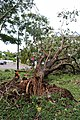 Cyclone Marcus in Darwin – Uprooted tree in Stuart Park 03.jpg