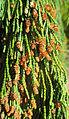 Cypressus nootkatensis pendula (male cones) in Falköping 9650.jpg