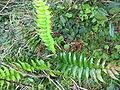 Cyrtomium falcatum (Habitus).jpg