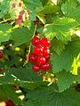 Czerwona porzeczka - owoce.JPG