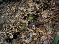 DO - Round-lobed Hepatica or Liverleaf (4071781125).jpg
