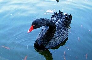 DSA1004-Black Swan Pond Spain-Castielli CC0.jpg