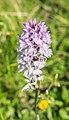 Dactylorhiza maculata in Haute-Savoie (3).jpg