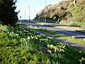 Daffodils, Dartmouth Road, Three Beaches, Paignton - geograph.org.uk - 1225810.jpg