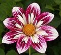 "Dahlia - ""Kate Mountjoy"" cultivar.jpg"