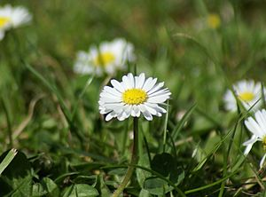 English: Daisies