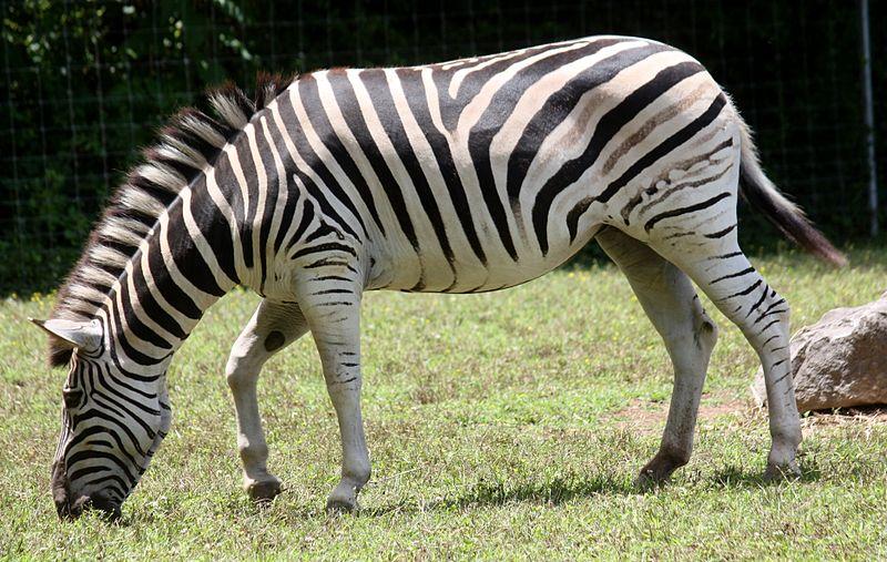 File:DamaraZebra EquusQuaggaAntiquorum1.jpg