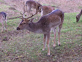 Algar, Andalusia - Fallow Deer is a typical animal of the areas of Algar