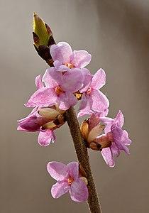 Daphne mezereum flowers - Keila.jpg