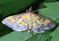 Darker diacme - Diacme adipaloides, Meadowood Farm SRMA, Mason Neck, Virginia (38562234135).jpg