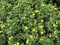 Dasiphora fruticosa ssp fruticosa 4.jpg