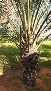 Date palm cutting growing on the trunk.jpg
