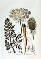 Daucus carota — Flora Batava — Volume v2.jpg