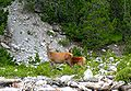 Deer Swiss National Park.jpg