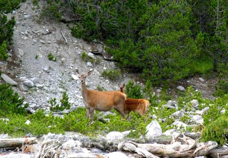 File:Deer Swiss National Park.jpg