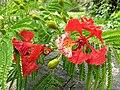 Delonix regia- Flame tree, Peacock Flower, Anasippoomaram, Poomaram 2.jpg