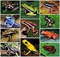 Dendrobatidae Diversity.jpg