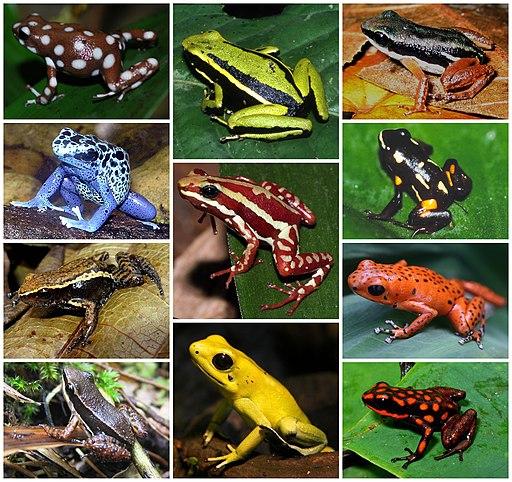 Dendrobatidae Diversity