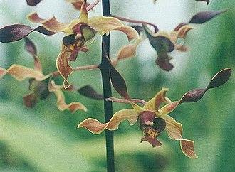 Dendrobium - Image: Dendrobium Mini Brown