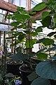 Dendrocnide moroides (Gympie Gympie) 2.jpg