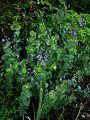 Derwentia perfoliata - Flickr - peganum (1).jpg