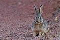 Desert Cottontail (8043745631).jpg