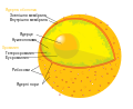 Diagram human cell nucleus uk.svg