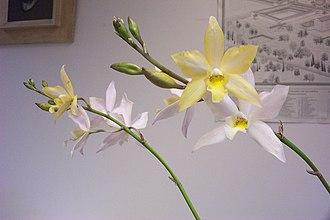 Laeliocatarthron - Caulaelia Snowflake × C. Coronet = (Caularthron bicornutum × Laelia albida) × ( Cattleya cinnabarina × Cattleya harpophylla )