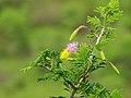 Dichrostachys cineria.jpg