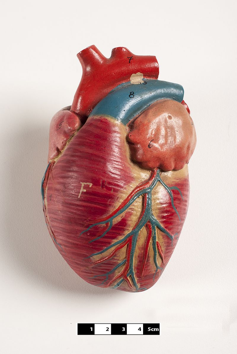 Didactic model of a mammal heart 02-FMVZ USP-08.jpeg