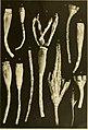 Die gestielten Crinoiden der Deutschen Tiefsee-Expedition (1912) (20738056098).jpg