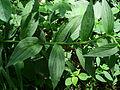 Digitalis grandiflora Kiev1.JPG