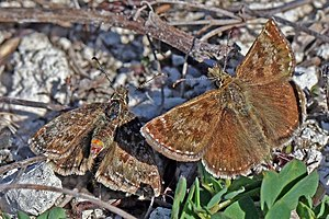 Dingy skipper - Image: Dingy skipper (Erynnis tages) courting