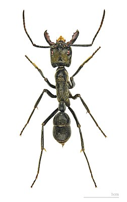 Рабочий муравей Dinoponera quadriceps